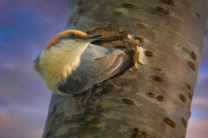 Bozone_Nuthatch Haven_DSC1270-Edit-edit-2